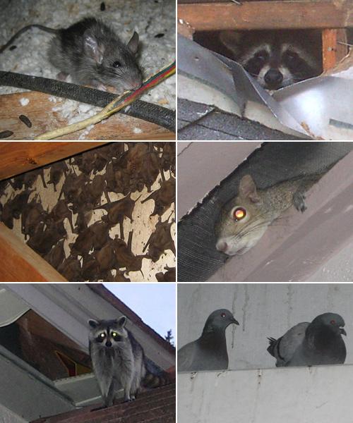 Washington Dc Wildlife Removal Raccoon Squirrel Bat